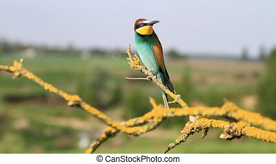 beautiful wild colored bird sits on a branch and sings a ...
