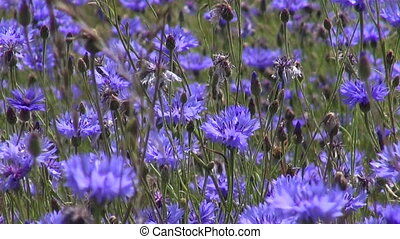 beautiful wild cornflower field