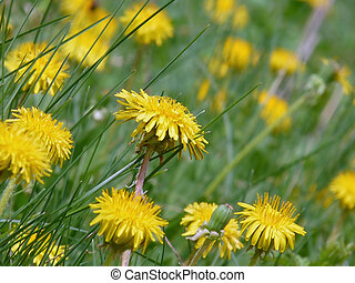 Beautiful Wild dandelions in the meadow