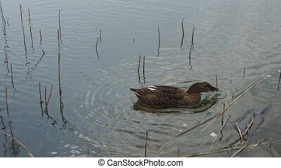 Beautiful wild ducks on the lake. - Beautiful wild ducks on ...