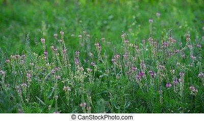Beautiful wild field grass with pink flowers - Beautiful...