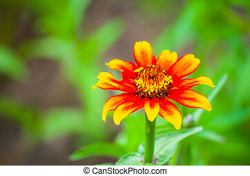 beautiful wild flower in the meadow: color orange