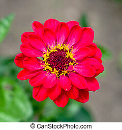 beautiful wild flower in the meadow: color red
