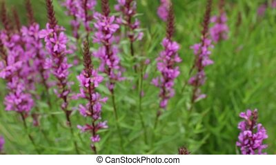 Beautiful wild flowers crybaby grass bumble bee plants