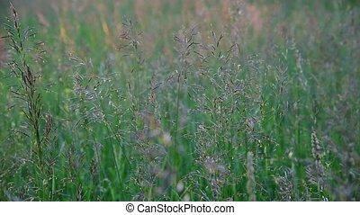 Beautiful wild grass in the meadow, fragment - Beautiful...