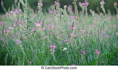Beautiful wild heather in the meadow - Beautiful wild...