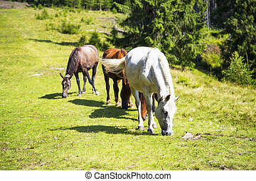 Beautiful wild horses grazing on the green hill,beautiful scene in nature with horses