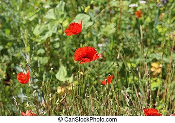 Beautiful wild poppy flower in the meadow