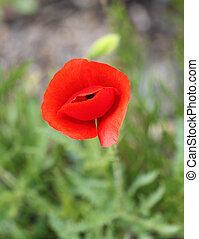 beautiful wild poppy flower