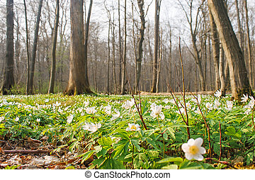 beautiful wild white flowers in forest