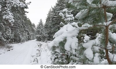 beautiful wild winter forest Christmas tree in the snow nature scenery pine path