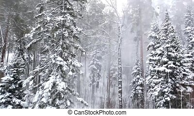 Beautiful winter forest in blizzard. Top view. Panorama.