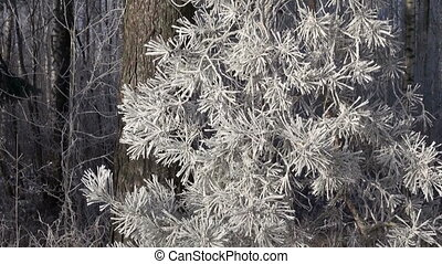 beautiful winter hoarfrost rime on forest pine tree branch