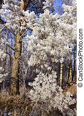 beautiful winter hoarfrost rime on pine branches in forest