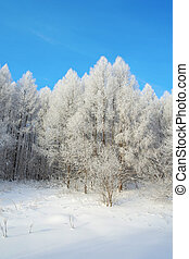 Beautiful winter landscape in forest with larches
