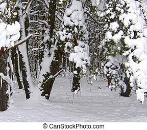 winter pine forest.