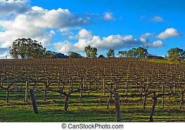 winter vineyard - Beautiful winter vineyard in the South ...
