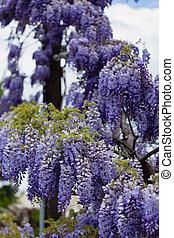Beautiful wisteria bloom