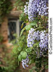 Beautiful Wisteria Floribunda climbing old brick wall in English country garden