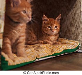 Beautiful wo fluffy bright red orange maine coon baby ...