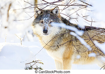 Beautiful wolf standing in the cold winter forest