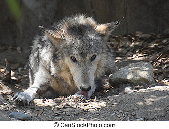 Beautiful Wolf With His Tongue Out Licking His Paw