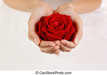 Beautiful woman hands with red rose