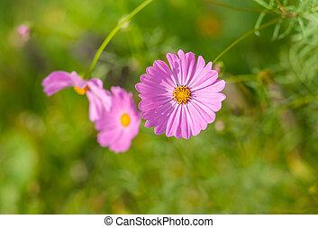 Beautiful world of Cosmos flowers