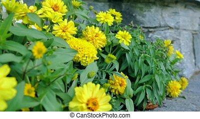 beautiful yellov flowers in the garden.