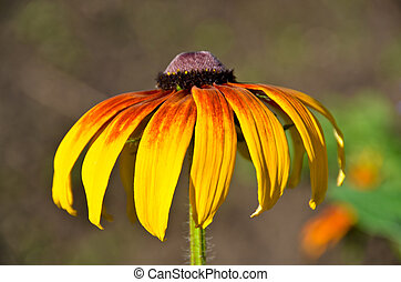 Beautiful yellow and brown colors chamomile (Rudbeckia) flower on green background