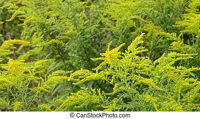 Beautiful yellow and green goldenrod flowers filling the frame