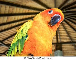 Beautiful yellow and orange sun conure parrot bird