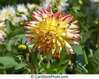 Beautiful yellow and pink Dahlia in a garden