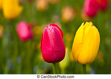 Beautiful yellow and red tulips