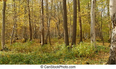 Beautiful yellow autumn forest - Beautiful autumn forest...