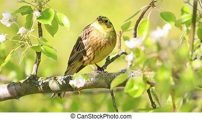 beautiful yellow bird sings a beautiful spring song