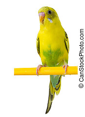 beautiful yellow budgie