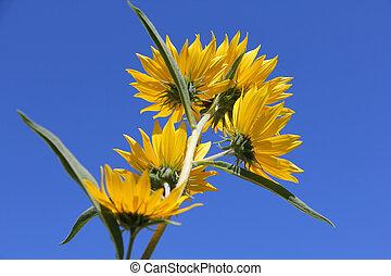 Bur-Marigolds - Beautiful yellow Bur-Marigolds (Bidens...