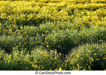 yellow chrysanthemum flower in the field