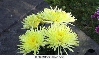 Beautiful yellow chrysanthemum flowers. Closeup shot of blooming yellow chrysanthemum flower.