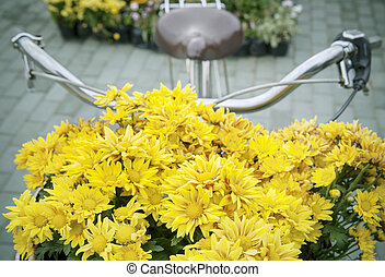 beautiful yellow chrysanthemum flowers decorated in front of...