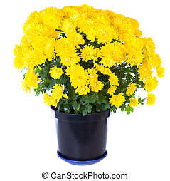 Beautiful yellow chrysanthemum in flowerpot isolated on white background. Two shots stitch image.