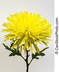 Beautiful yellow chrysanthemum on white background.