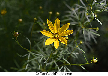 Beautiful Yellow Coreopsis Blooming in a Garden