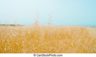 Beautiful yellow cultivated field in front of the blue sea