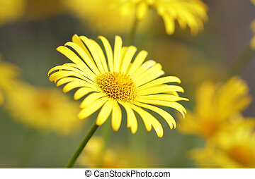 Beautiful yellow daisy blooming in a meadow