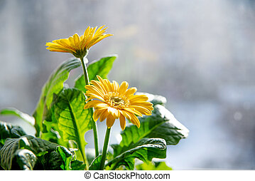 Beautiful yellow daisy gerbera flowers on the window Spring and summer mood