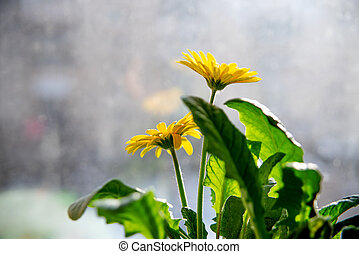 Beautiful yellow daisy gerbera flowers on the window