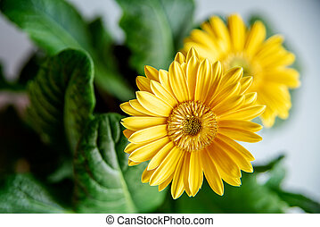 Beautiful yellow daisy gerbera flowers on white background Spring and summer mood