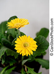 Beautiful yellow daisy gerbera flowers on white background. Spring and summer mood